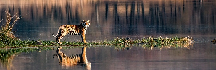 Tiger India Adobestock Prasanna
