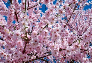 Wendy Wu Offers Early Booking Discount on Cherry Blossom tour